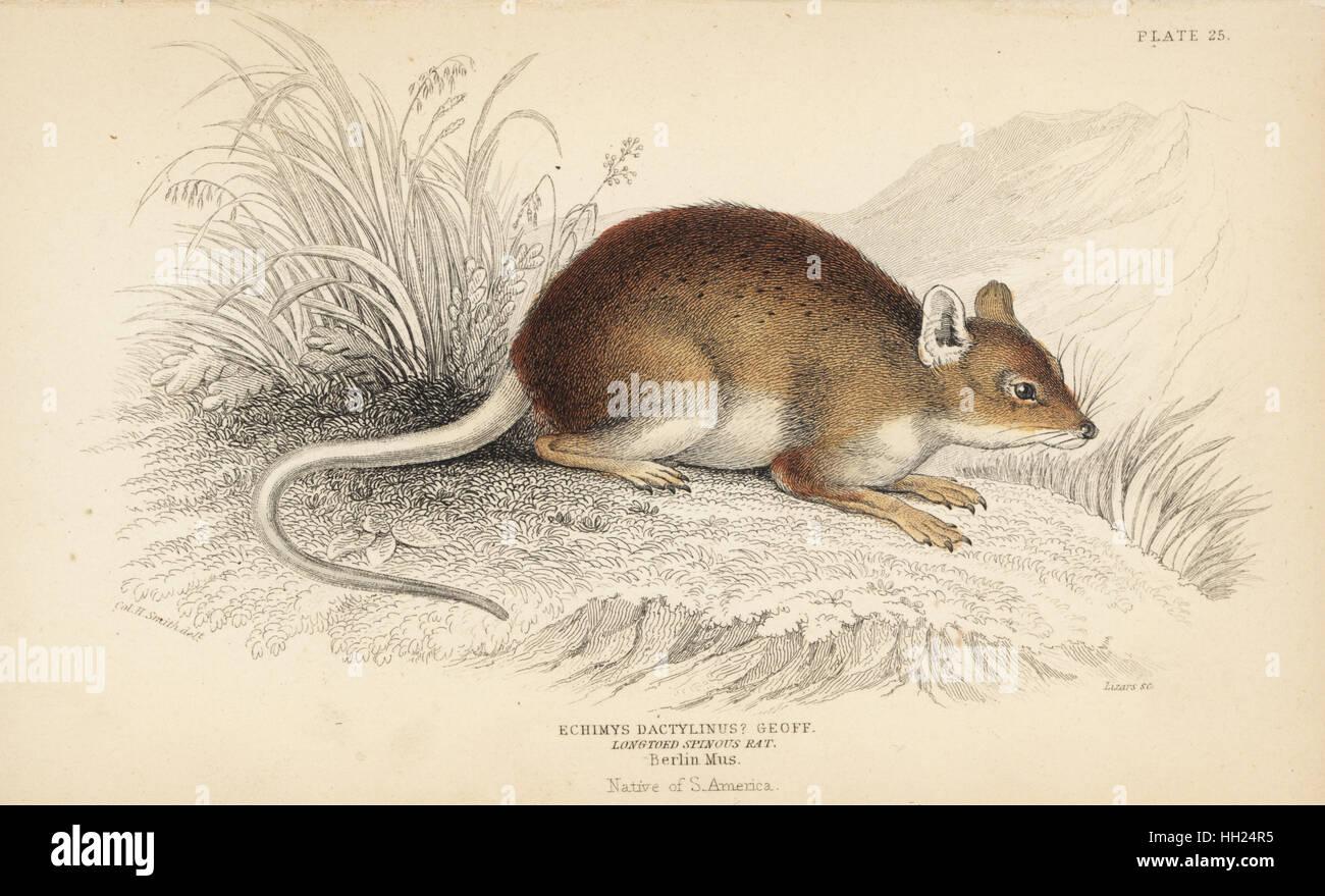 Amazon bamboo rat, Dactylomys dactylinus (Long-toed spinous rat, Echimys dactylinus). From a specimen in Berlin - Stock Image