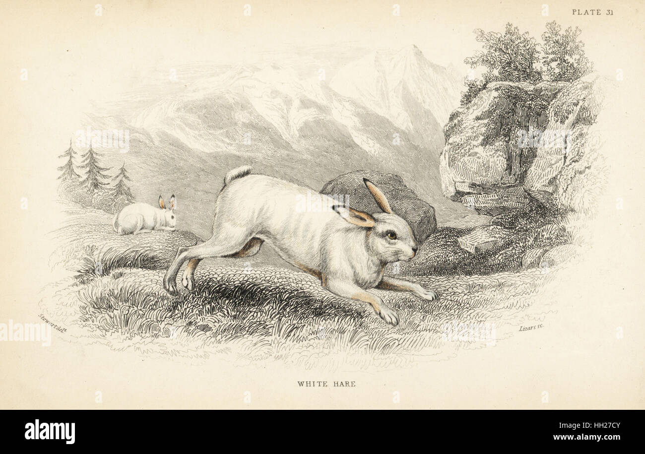 Hare, Lepus timidus in winter pelage (White hare, Lepus variabilis). Handcoloured steel engraving by Lizars after - Stock Image