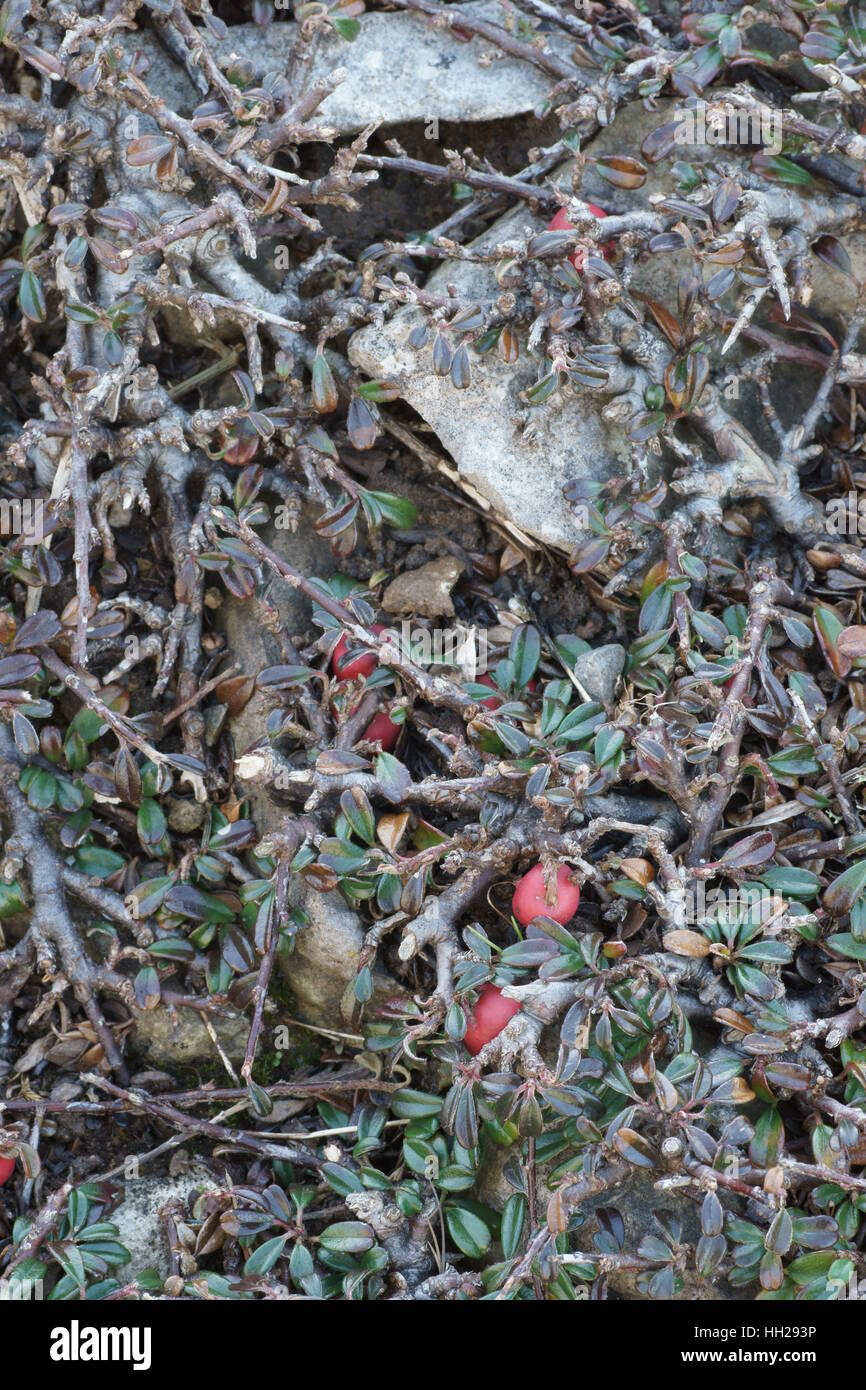 Cotoneaster integrifolius (Entire-leaved Cotoneaster) - Stock Image