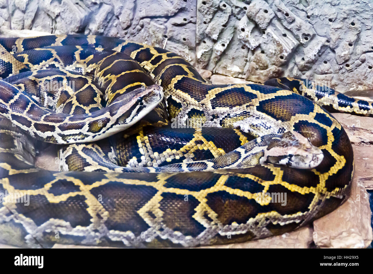 Photo of two snakes python in the midst of stones - Stock Image