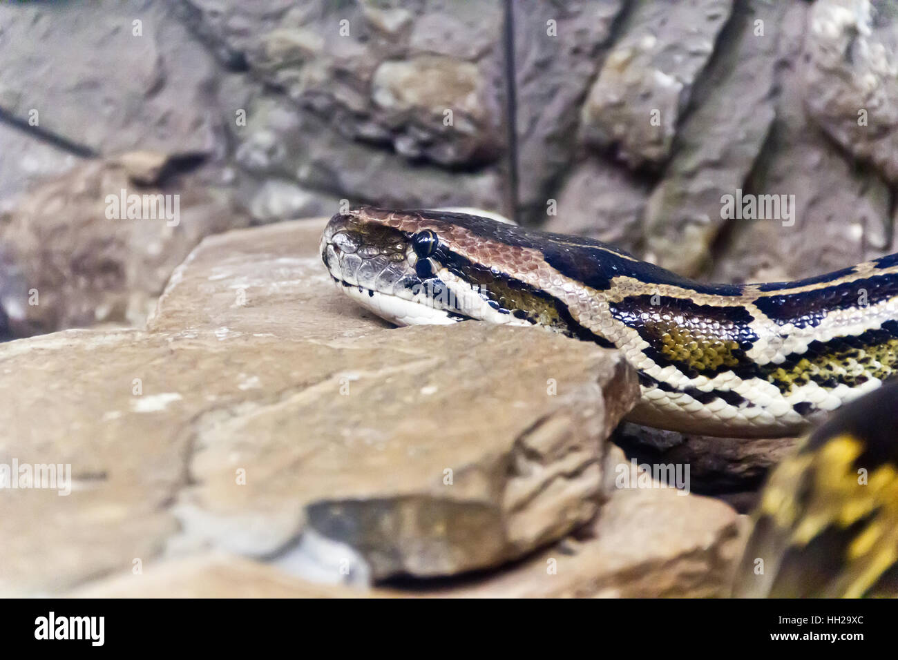 Photo of python head in the midst of stones - Stock Image