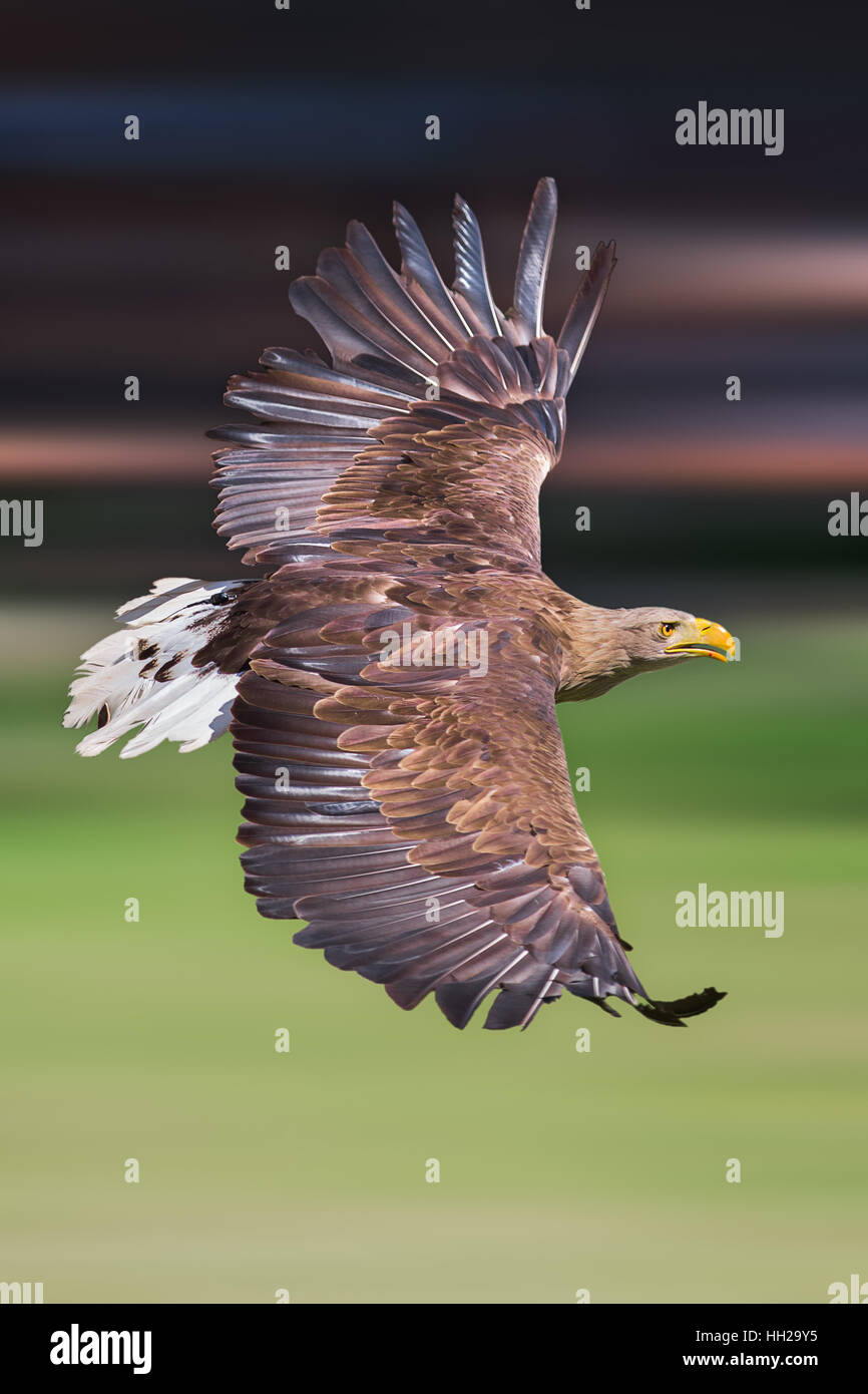 Flying white-tailed eagle (Haliaeetus albicilla) with green background Stock Photo