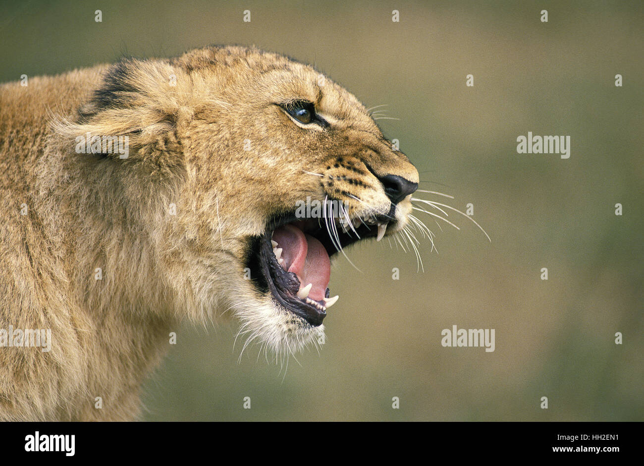 African Lion, panthera leo, Cub Snarling - Stock Image