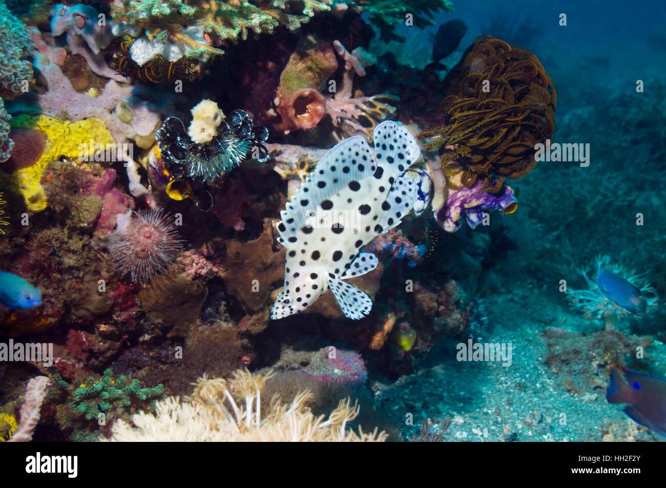 Barramundi cod or Humpback grouper  (Cromileptes altivelis) juvenile swimming over coral reef.  Rinca, Komodo National - Stock Image