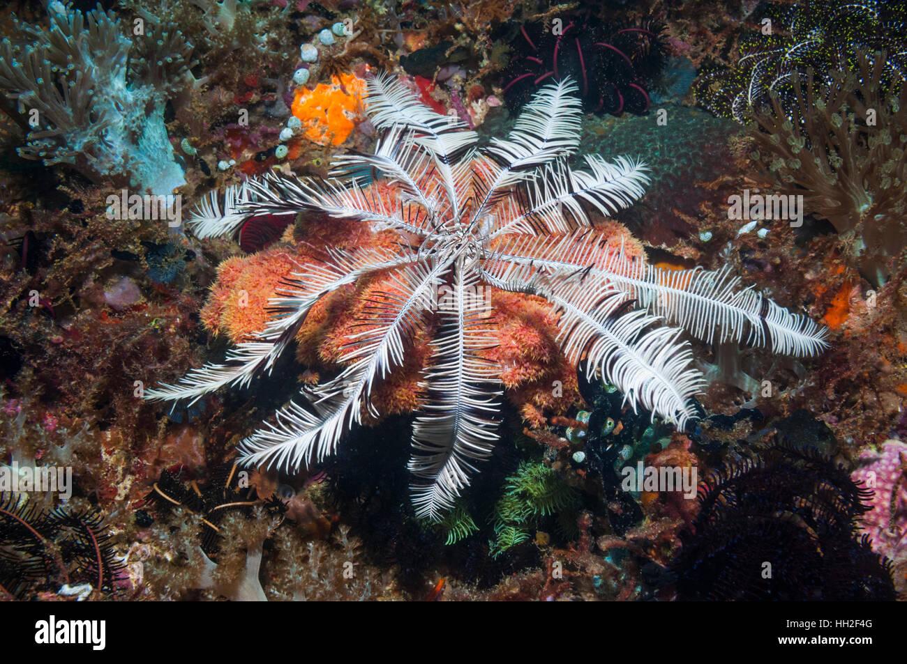 Crinoid or featherstar.  Cebu, Malapascua Island, Philippine. Stock Photo