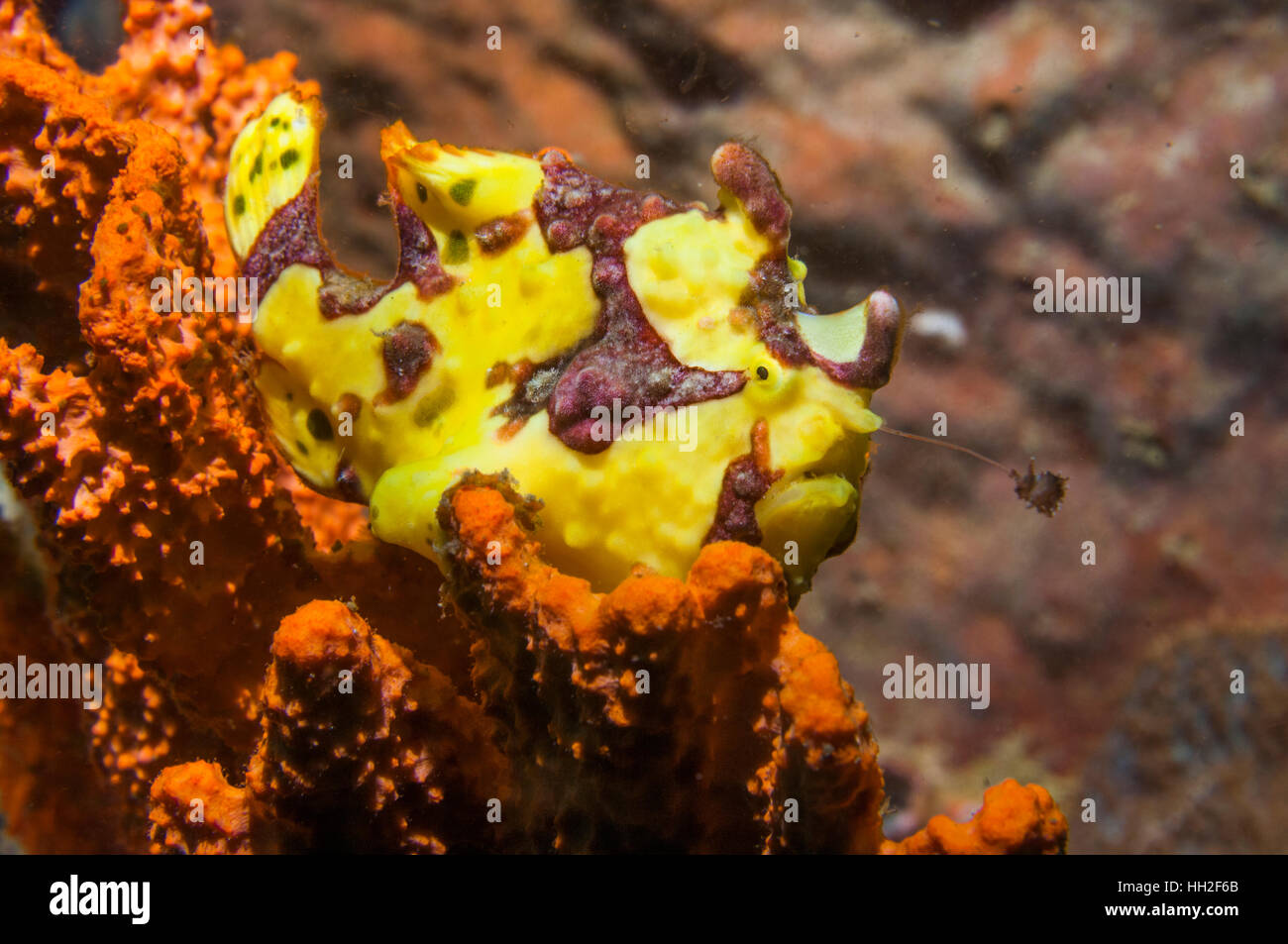 Yellow warty frogfish [Antennarius maculatus] with lure extended.  Lembeh, Sulawesi, Indonesia. - Stock Image