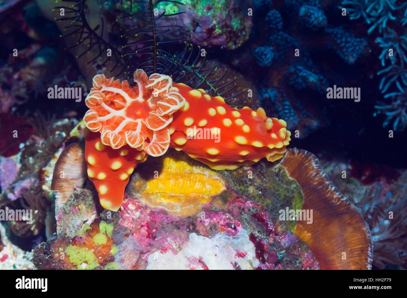 Nudibranch: Gymnodoris aurita.  Rinca, Indonesia.  (Digital capture). - Stock Image