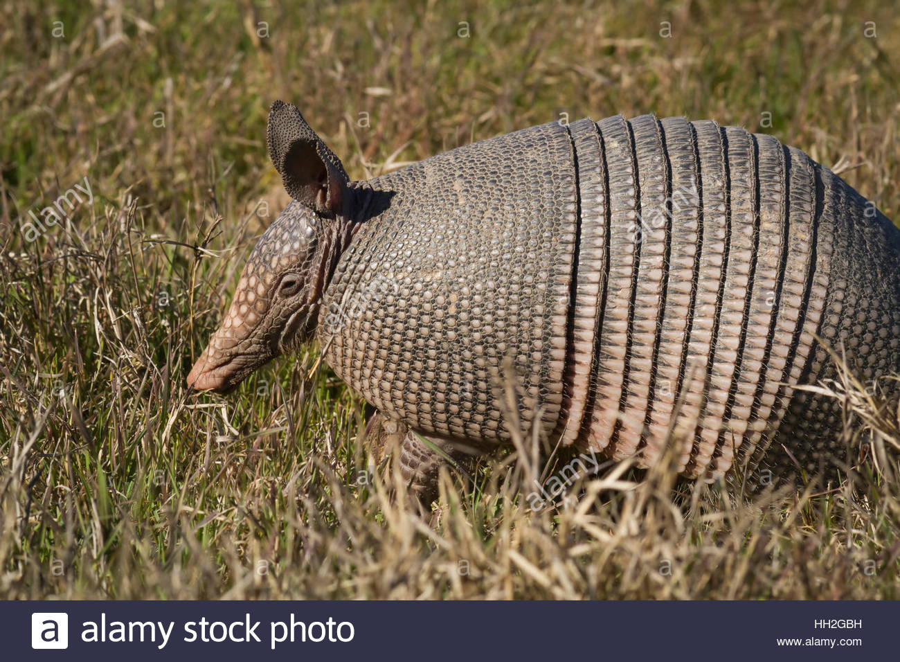 A Texas Armadillo (Dasypus novemcinctus) searching for food in a field. - Stock Image