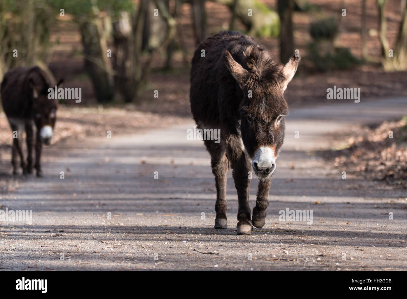 Donkeys on road in New Forest National Park. Pair of free roaming animals walking along through woodland in southern - Stock Image