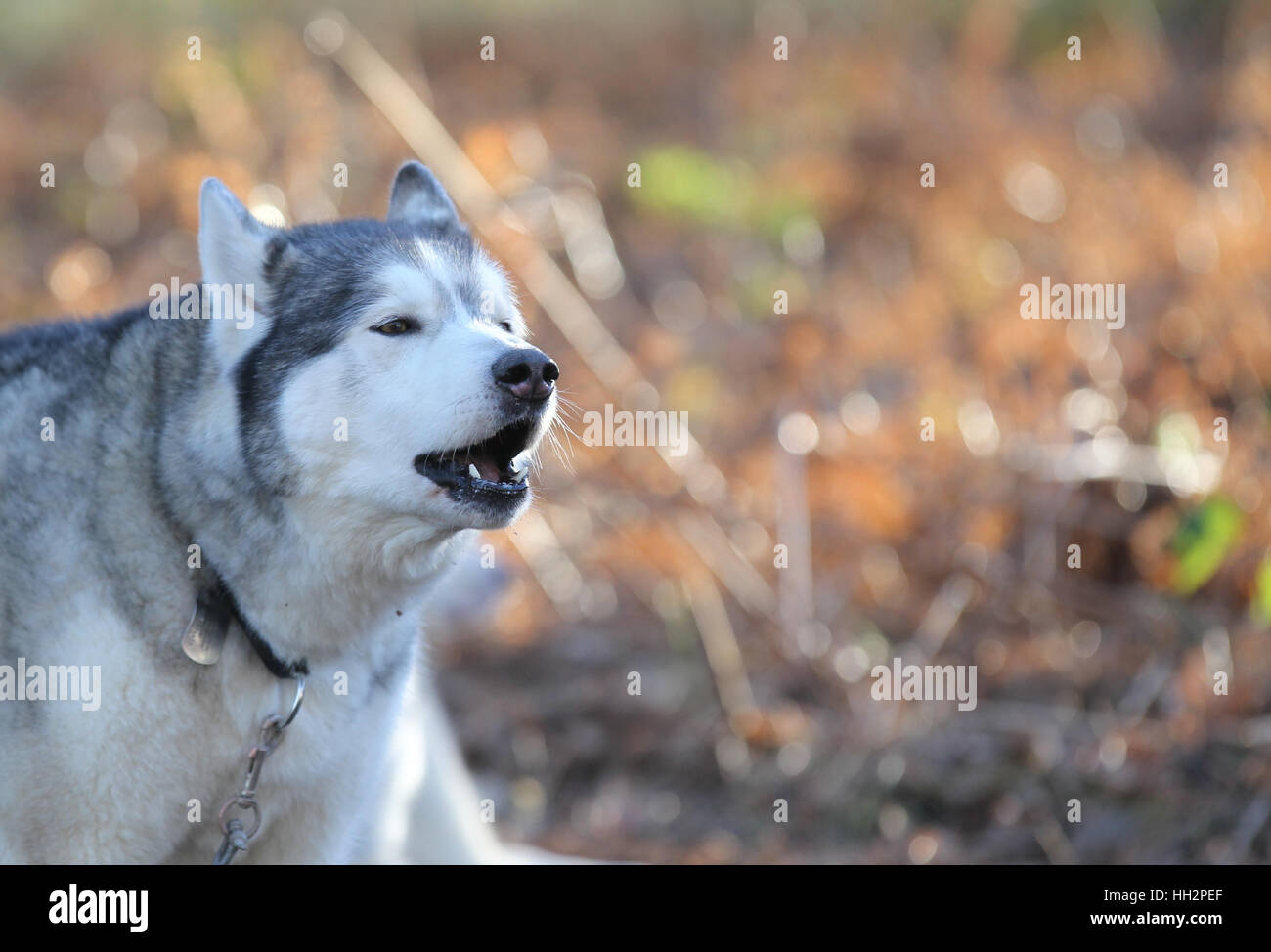 A husky howls before the racing at Sherwood Pines forest, Nottinghamshire - Stock Image