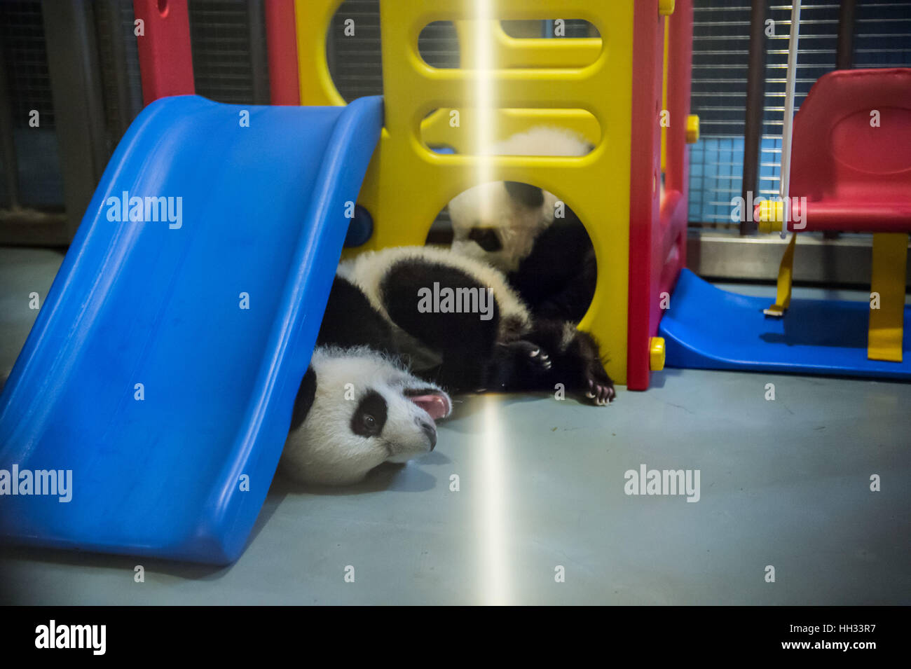 Macao, China. 11th Jan, 2017. Giant pandas Jianjian (back) and Kangkang play with each other in Macao Special Administrative - Stock Image