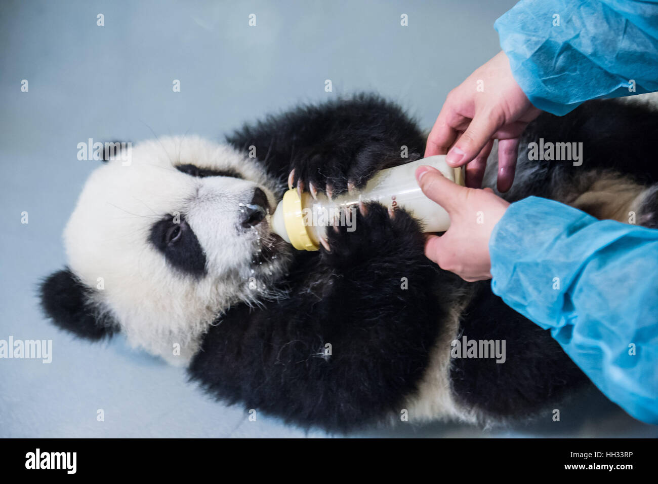 Macao, China. 11th Jan, 2017. A keeper feeds giant panda Jianjian with milk fomula in Macao Special Administrative - Stock Image