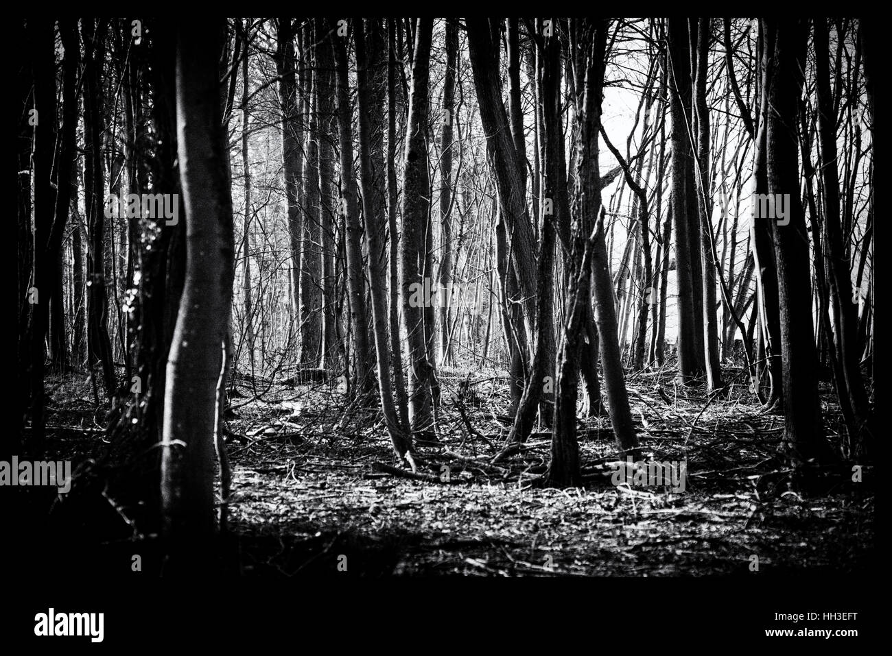 Dark Spooky Grainy Woodland, Black and White - Stock Image