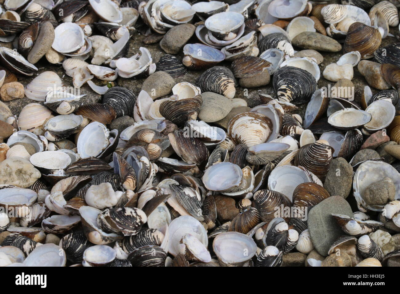 Muscheln am Strand Rhein Speyer - Stock Image