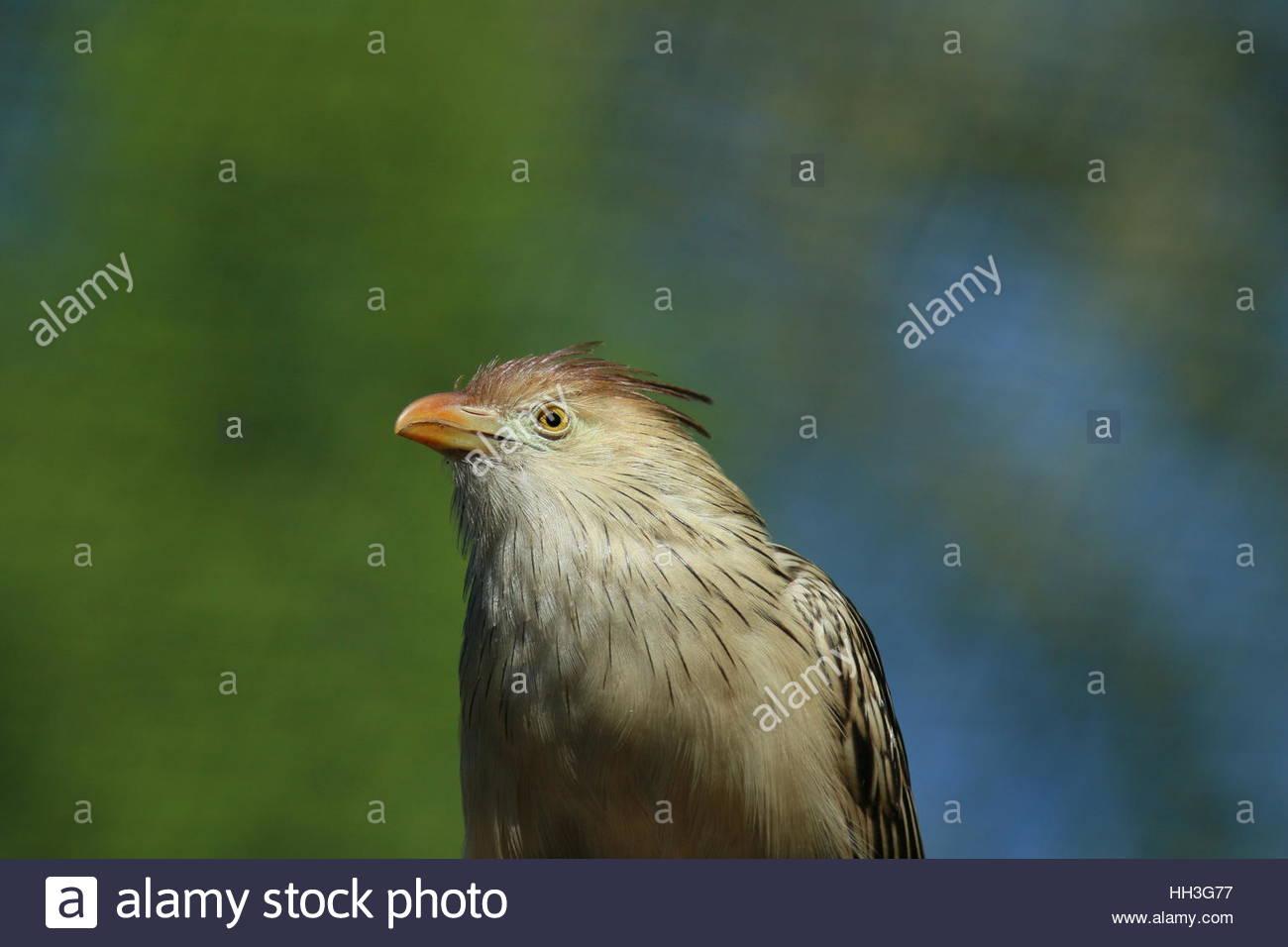 Guirakuckuck Vogel - Stock Image