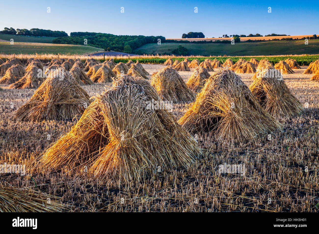 Traditional stooks of wheat in a field in Wiltshire, UK. - Stock Image