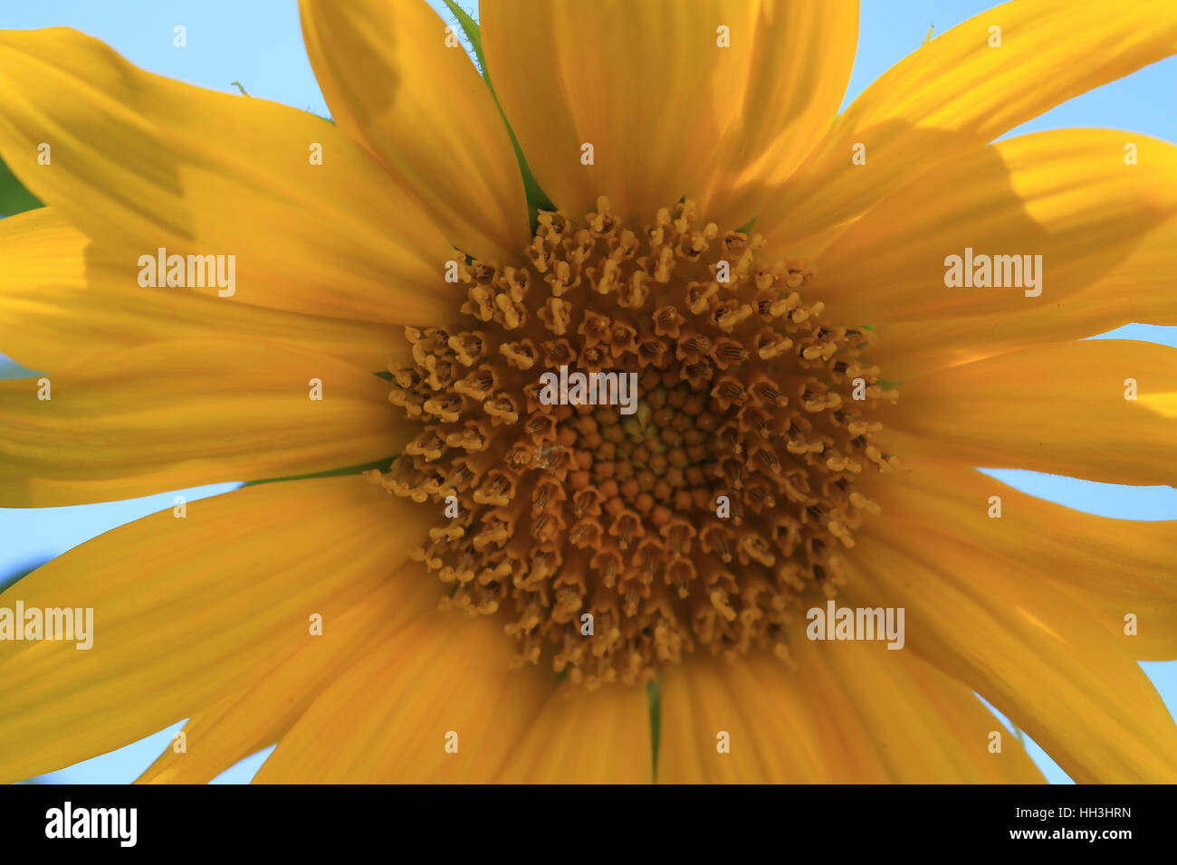 Sonnenblume Blüte - Stock Image