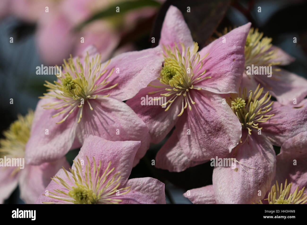 Rosa blühende Clematis - Stock Image