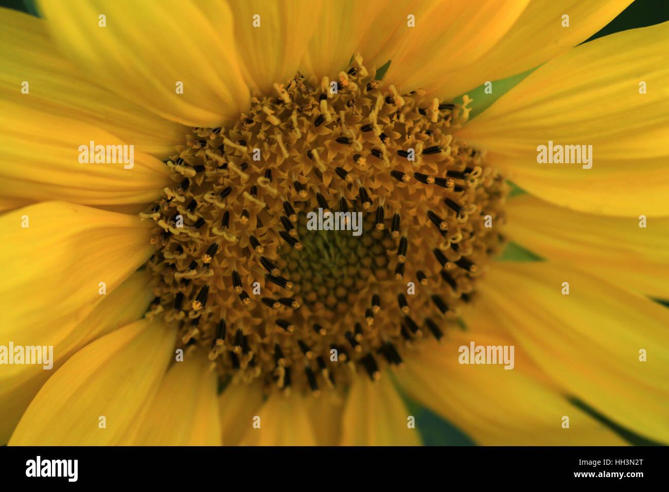 Blühende Sonnenblume im Garten - Stock Image