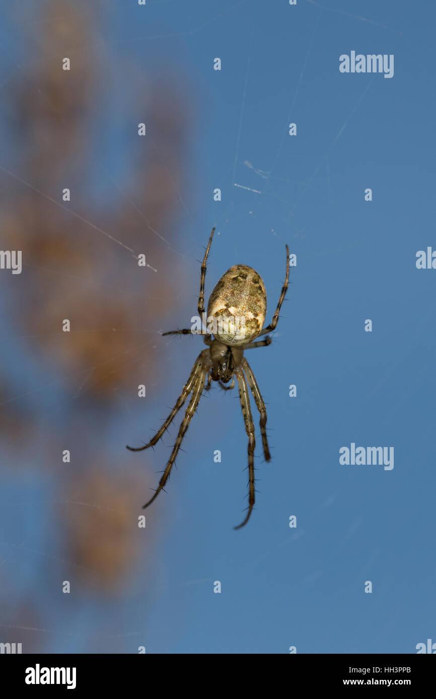 Herbstspinne, lauert im Netz, Herbst-Spinne, Metellina cf. segmentata, Meta cf. segmentata, Autumn spider, Autumn - Stock Image
