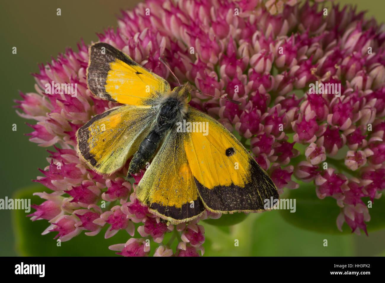 Postillon, Postillion, Großes Posthörnchen, Gelbes Posthörnchen, Wander-Gelbling, Wandergelbling, - Stock Image