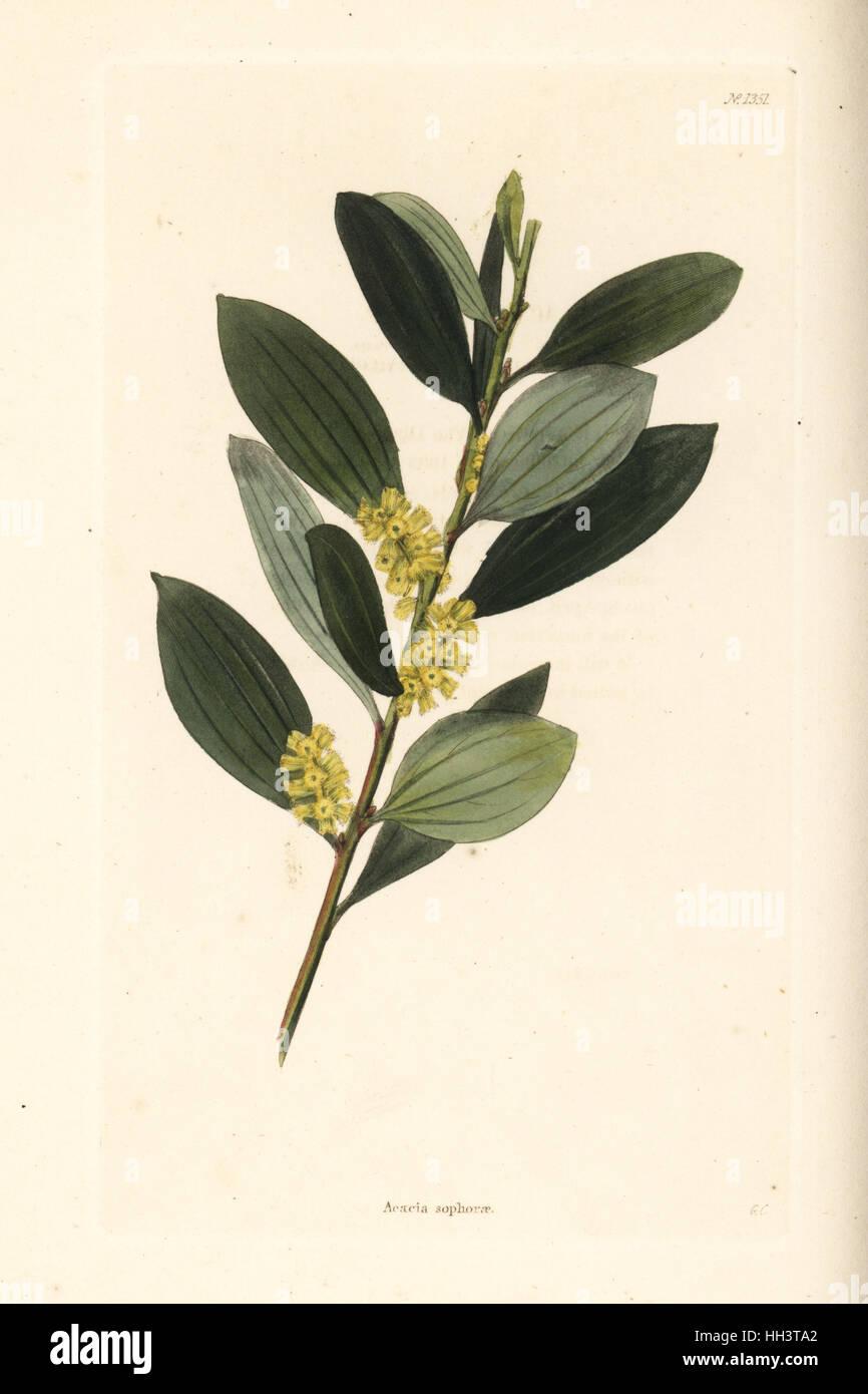 Coast Wattle Acacia Sophorae Handcoloured Copperplate Engraving By