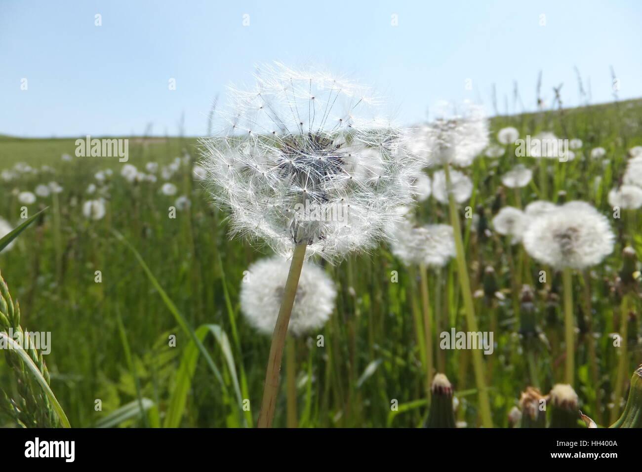 Dandelion fluff flied close-up - Stock Image