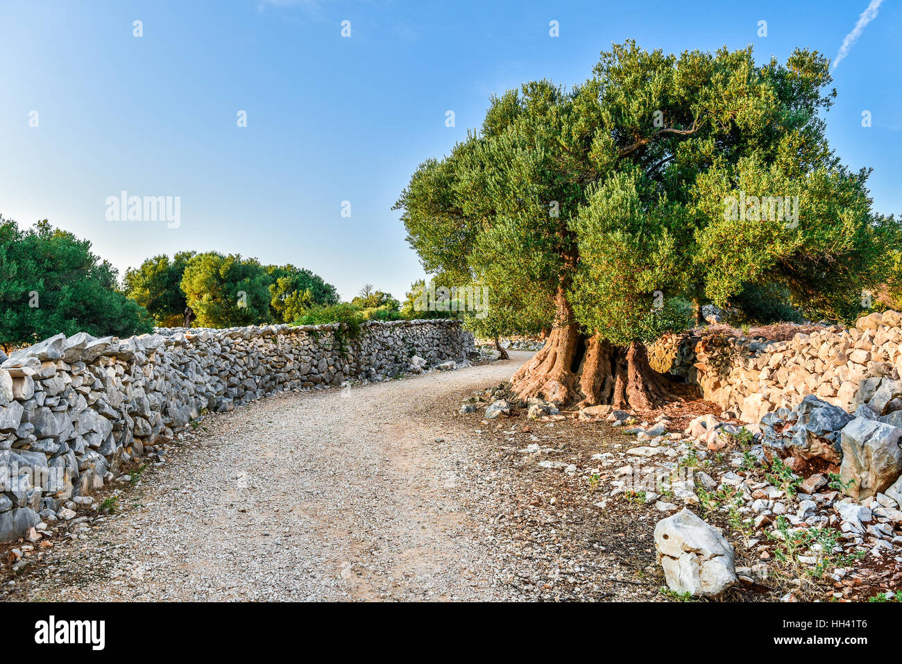Big And Old Ancient Olive Tree In The Olive Garden In Mediterranean Stock  Photo: 131010998   Alamy