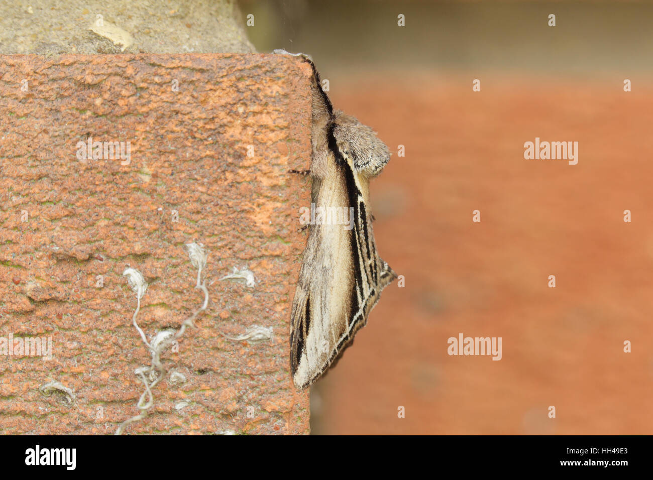 Swallow Prominent (Pheosia tremula), a moth, hanging to a brick wall in a suburban garden in Norfolk - Stock Image