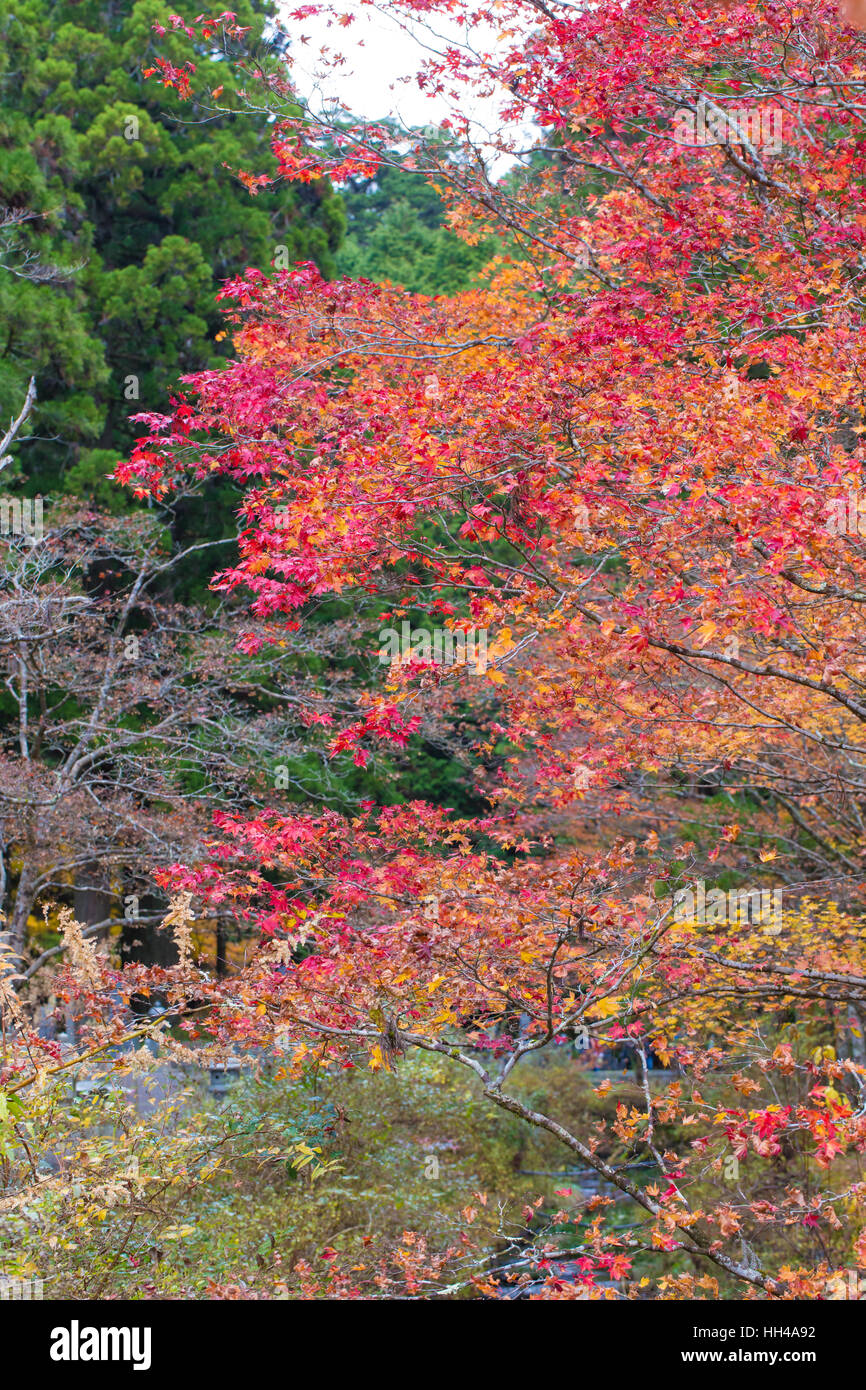 Japanese Bridgeyellow And Red Maple Bush Tree Blossom In Autumn