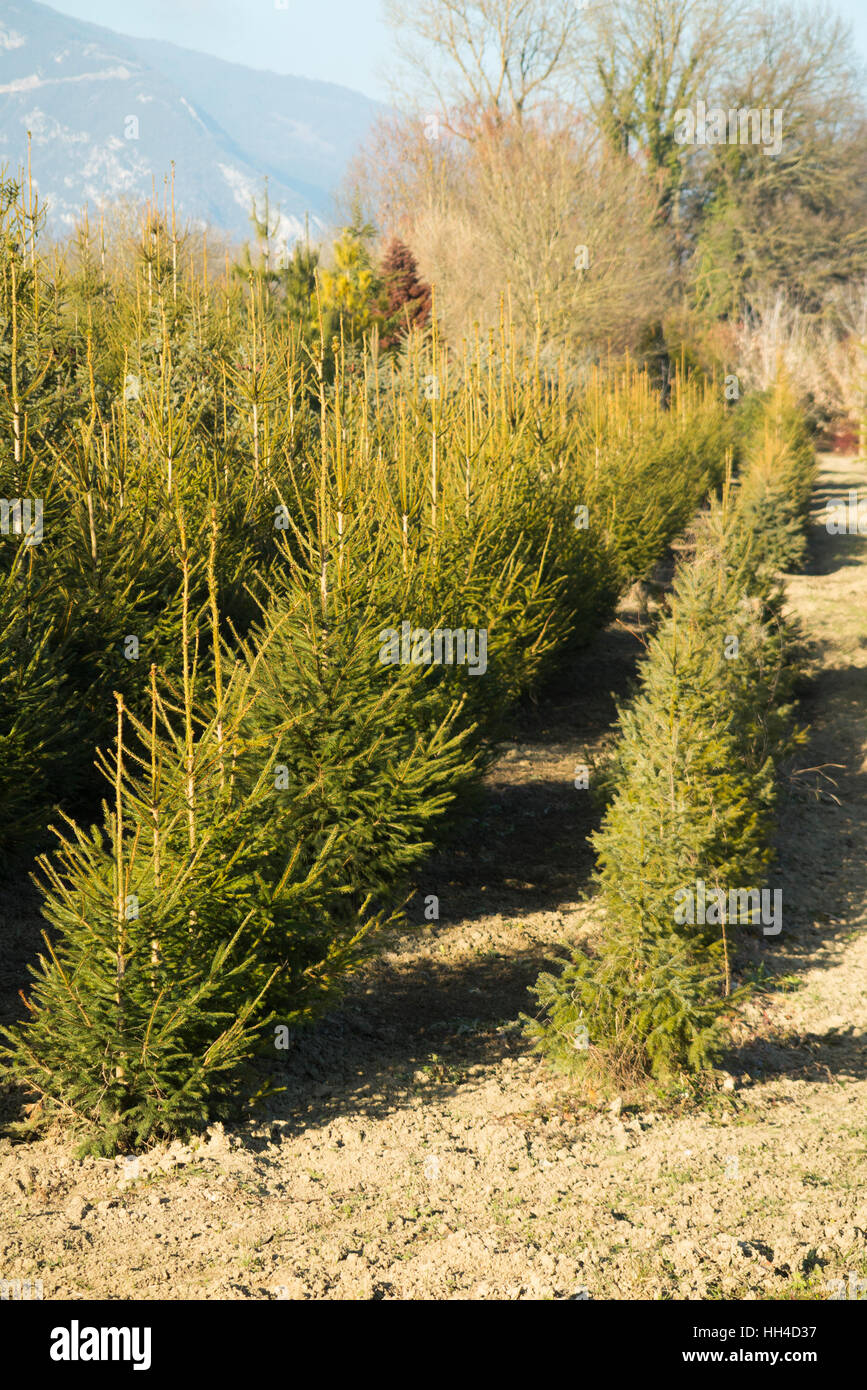Grow a Christmas tree trees growing / Xmas trees being grown / cultivated by French grower farmer. Farm in Savoy - Stock Image