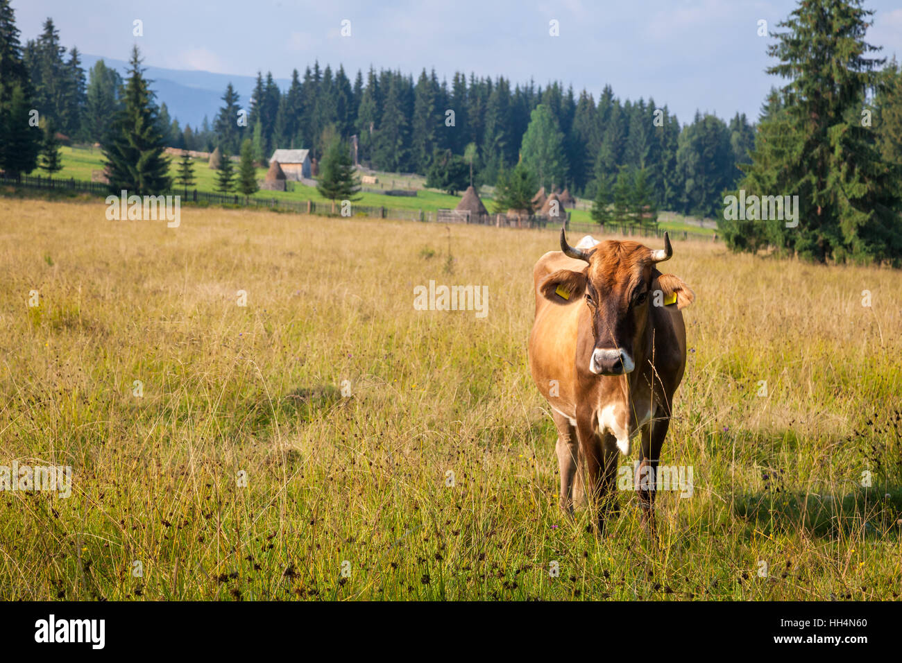 Brown Cow Grazing At Pasture In Romania With Dairy Farm Background