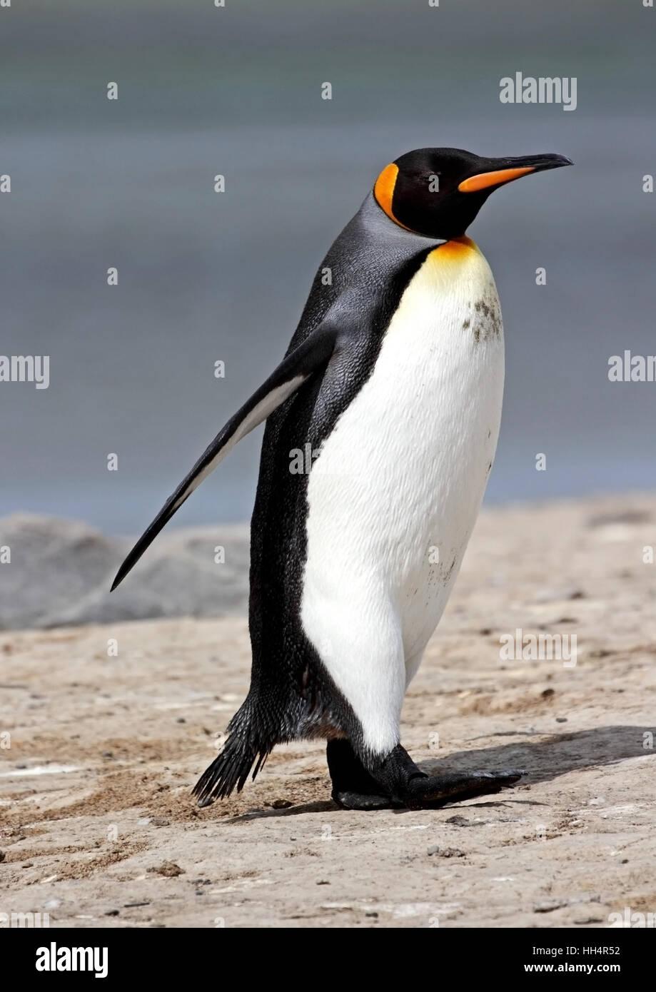 King Penguin - Stock Image