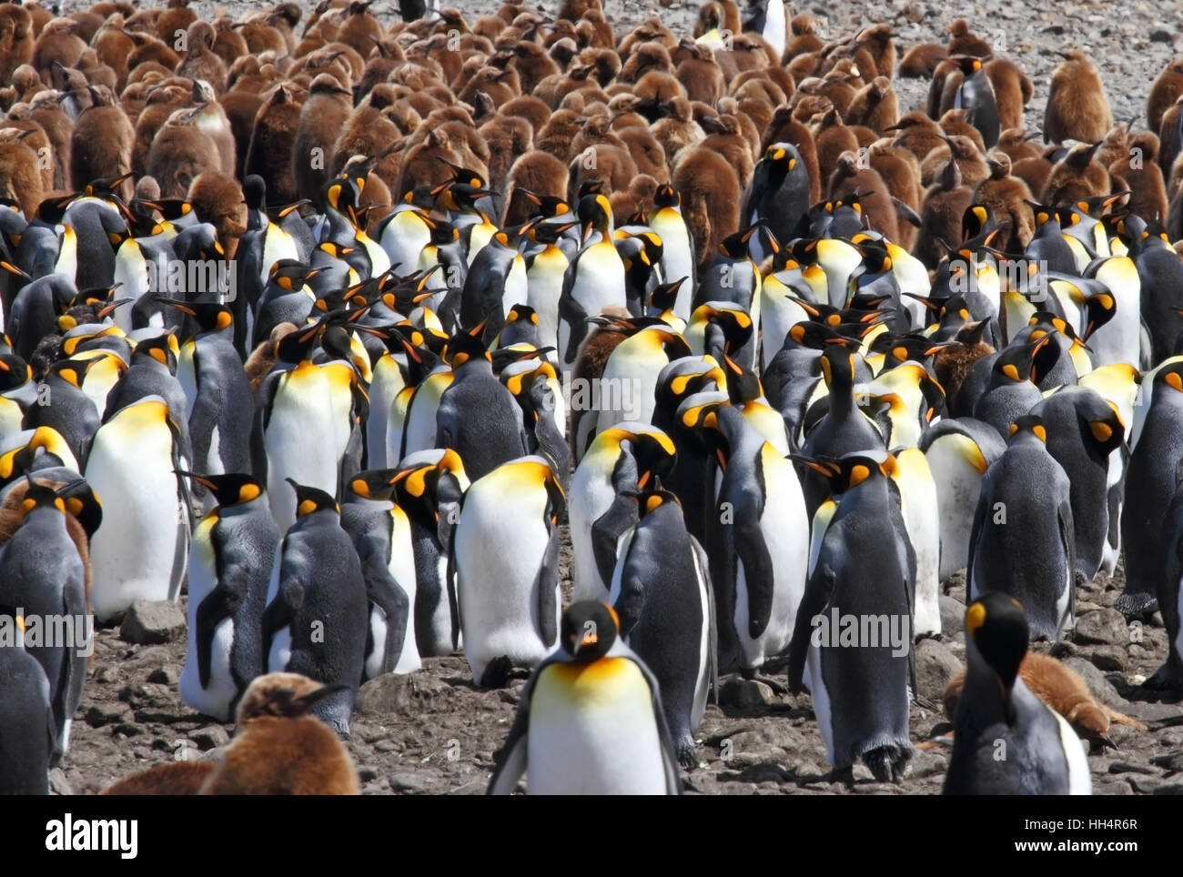 King Penguin Colony #13 - Stock Image