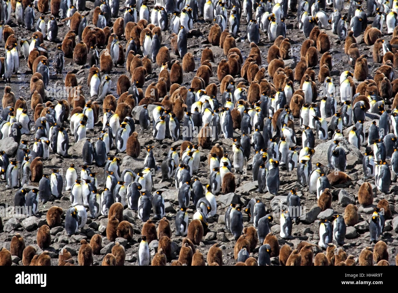 King Penguin Colony #9 - Stock Image