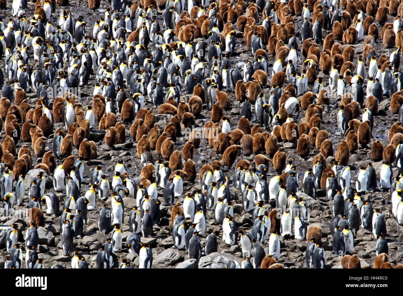 King Penguin Colony #6 - Stock Image