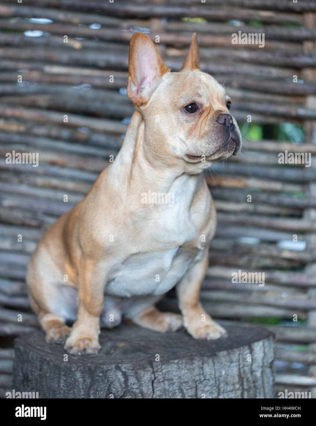 French Bulldog - Canis lupus familiaris, 6 months old, Portrait - Stock Image