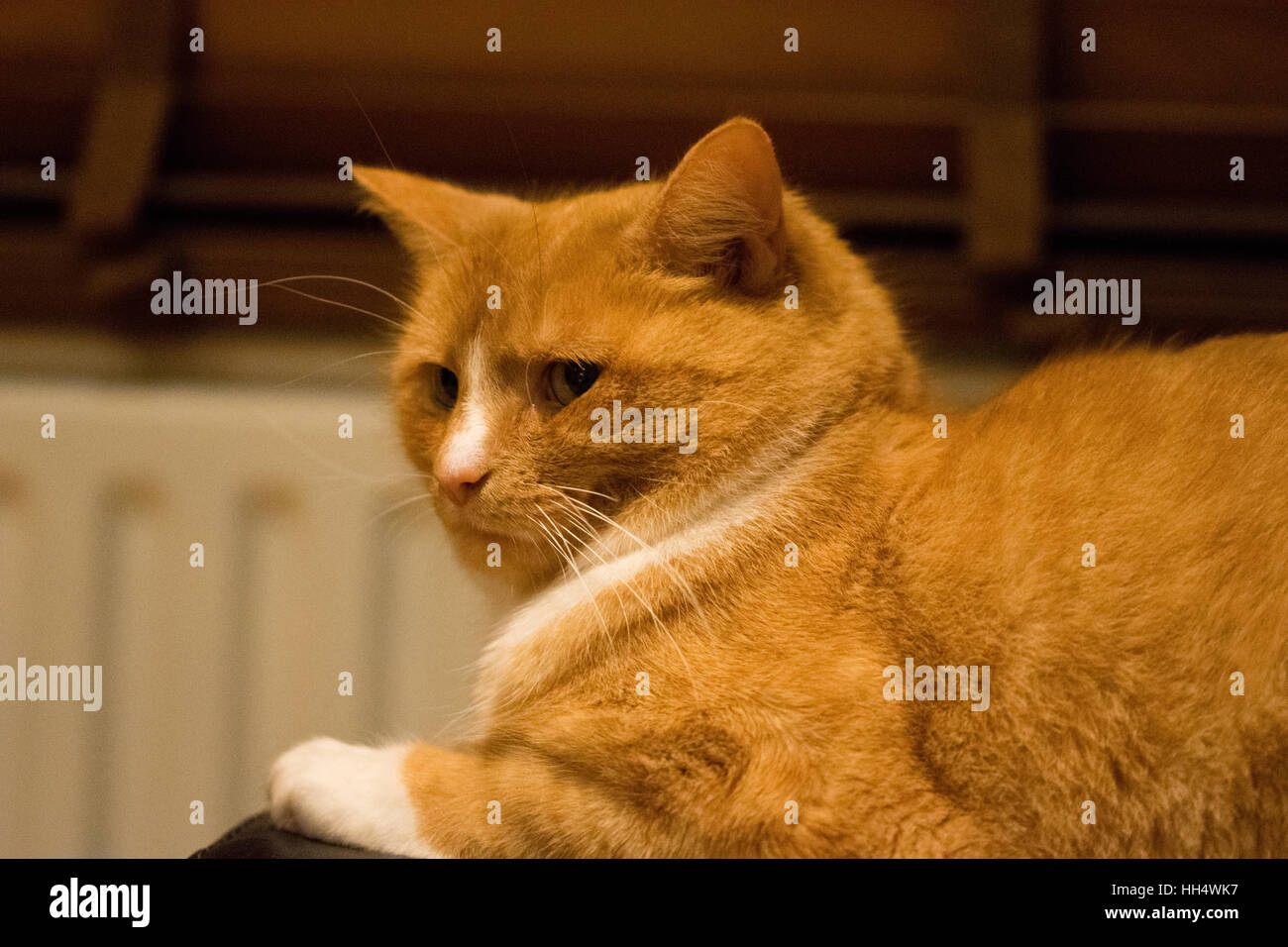 Ginger cat looking annoyed - Stock Image