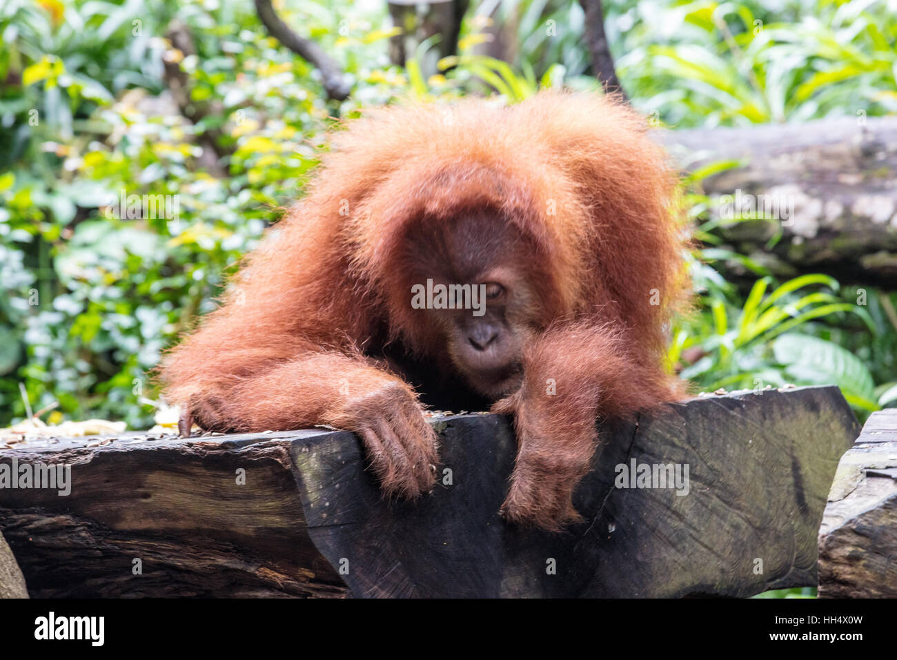 Orangutan sitting on a  branch eating - Stock Image