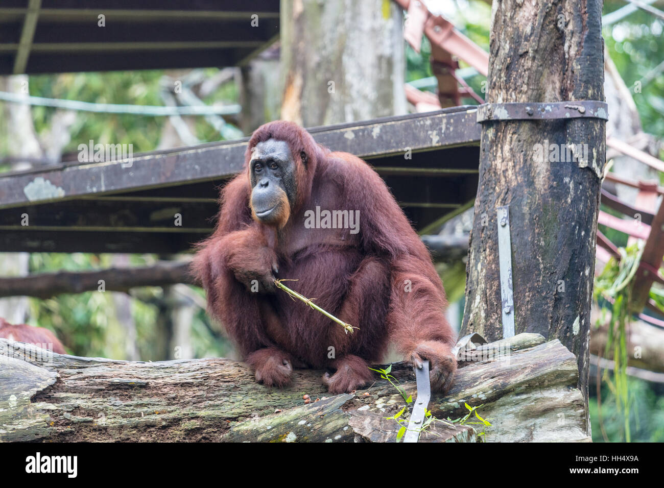 Orangutan sitting on a  branch eating Stock Photo