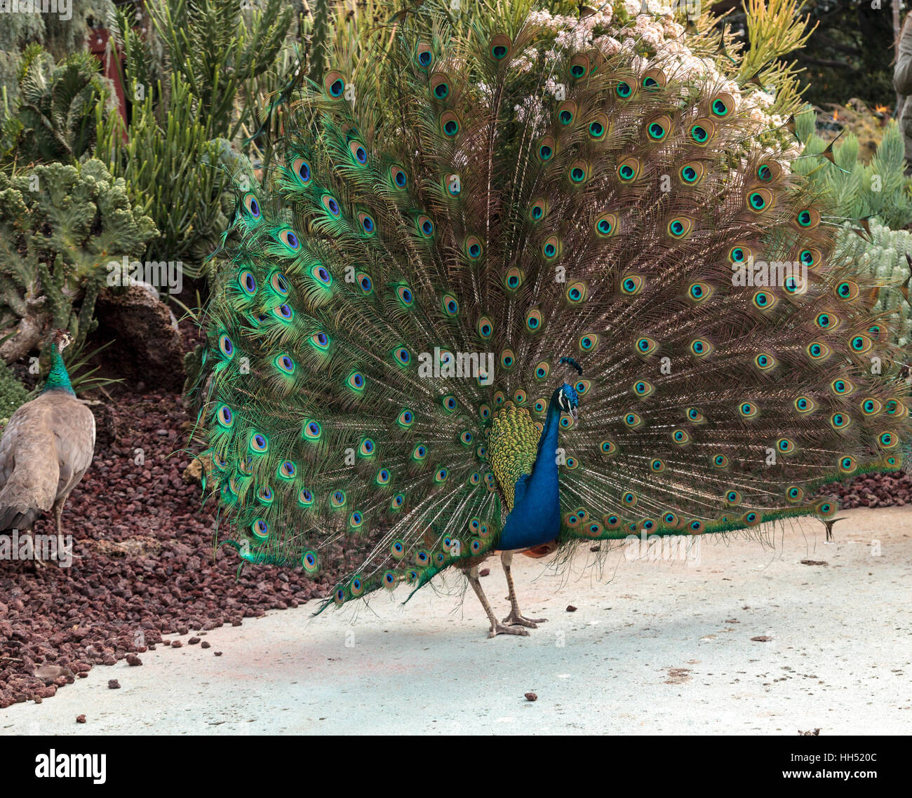 Mating display of a blue and green male peacock Pavo muticus in a botanical garden - Stock Image