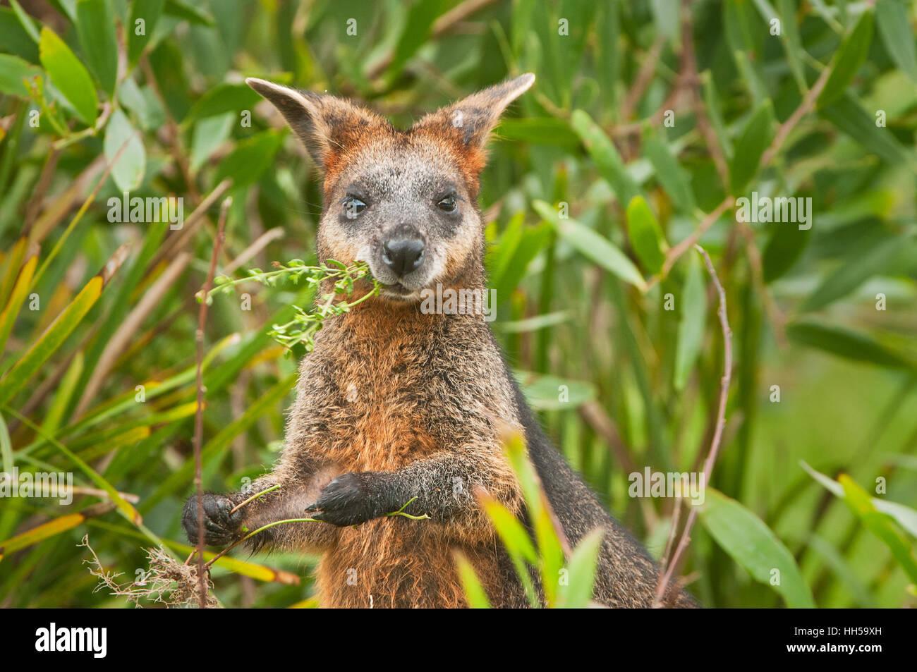 Swamp Wallaby feeding on some eucalyptus blossom. - Stock Image