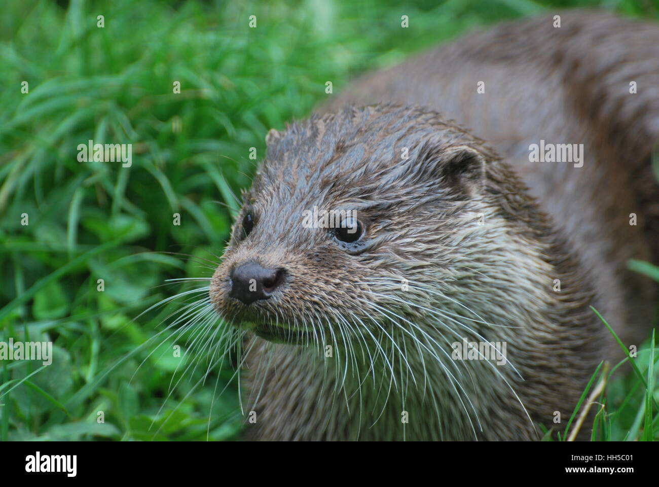 European Otter,Lutra lutra at the New Forest Wildlife Park, Hampshire Stock Photo