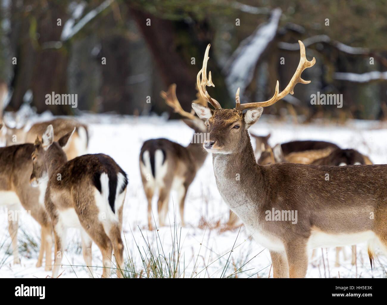 Deers in snow in Richmond Park, London - Stock Image