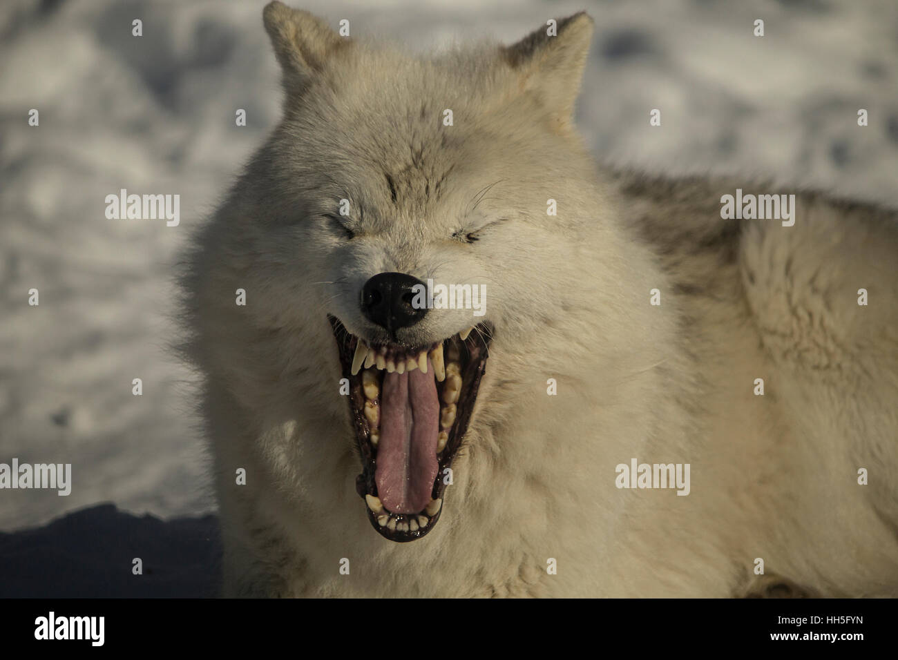 arctic wolf - Stock Image