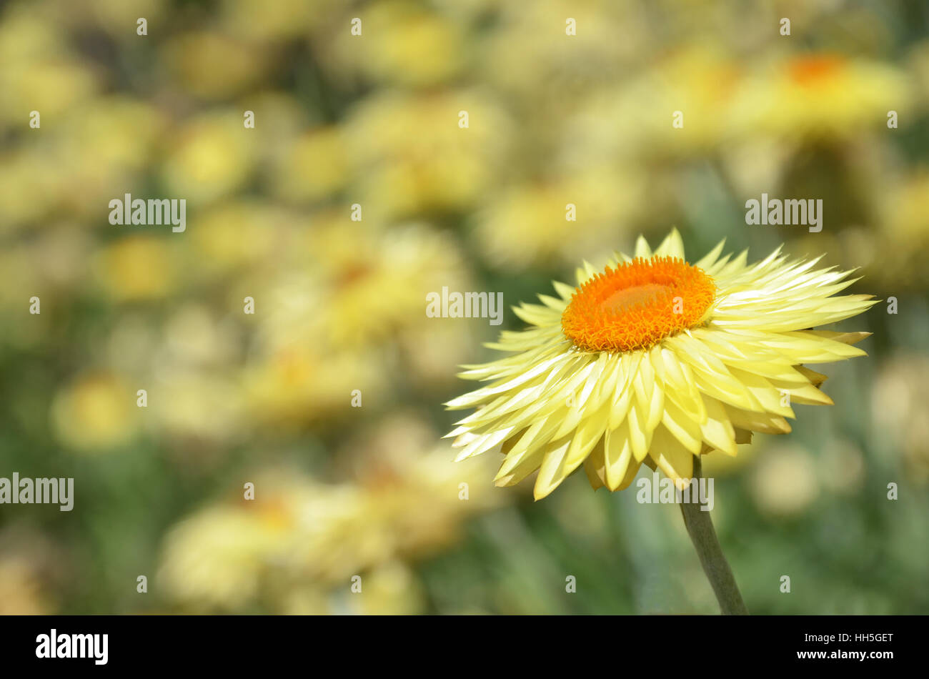 Australian Native Yellow Paper Daisy Flower Background Also Known