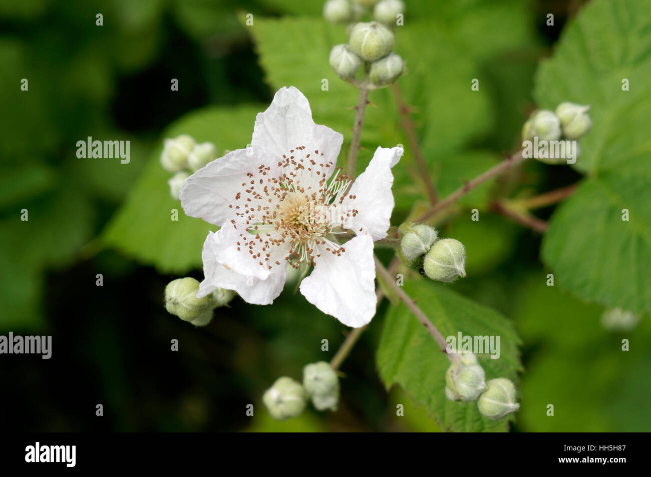 Close-up of a Himalayan Blackberry (Rubus discolor or Rubus ameniacus) wildflower, British Columbia, Canada - Stock Image