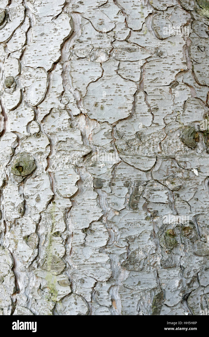 Close-up of the scaly bark of a mature spruce tree, Vancouver, British Columbia, Canada - Stock Image