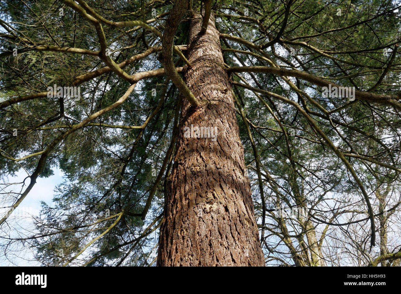 Looking up into branches of a Douglas fir tree (Pseudotsuga menziesii) in Shaugnessy Park, Vancouver, British Columbia, - Stock Image