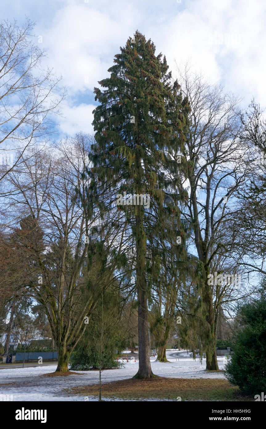 Norway spruce tree (Picea abies)  in Shaugnessy Park, Vancouver, British Columbia, Canada - Stock Image